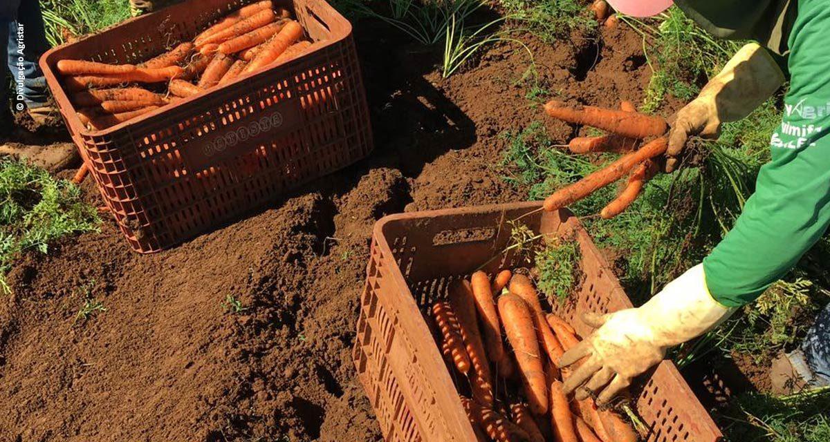 Cenouras híbridas de verão são resultado da pesquisa com genética 100% nacional
