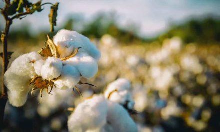 WTT desenvolve edital sobre a produção de algodão agroecológico
