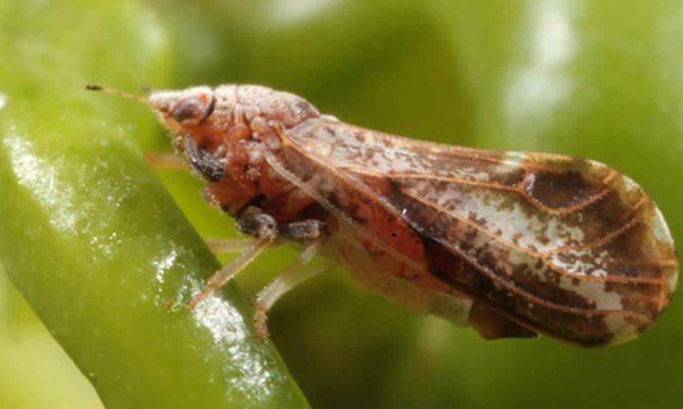 Pesquisa propõe controle regional do inseto-vetor para melhorar combate ao HLB dos citros