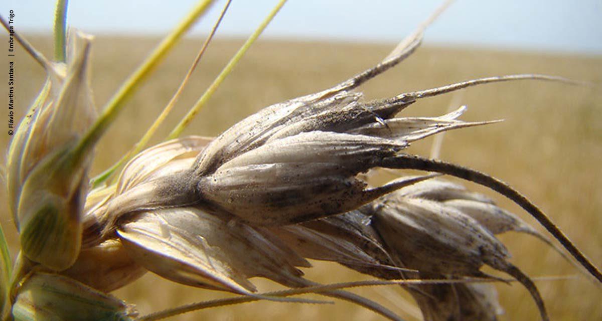 Cientistas do Brasil e dos EUA criam aplicativo para monitoramento mundial de doença do trigo