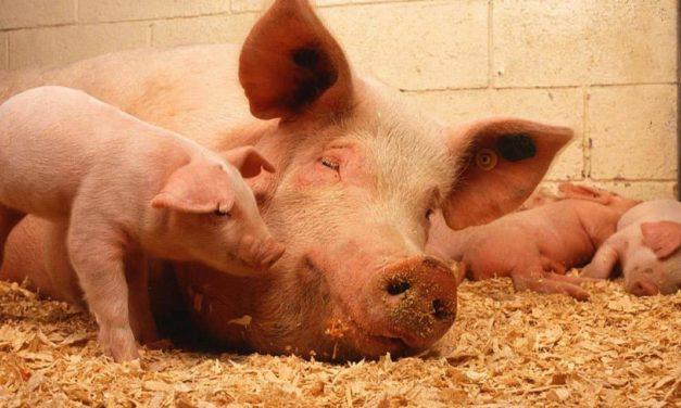 Inovações tecnológicas para suinocultura na Pork Expo