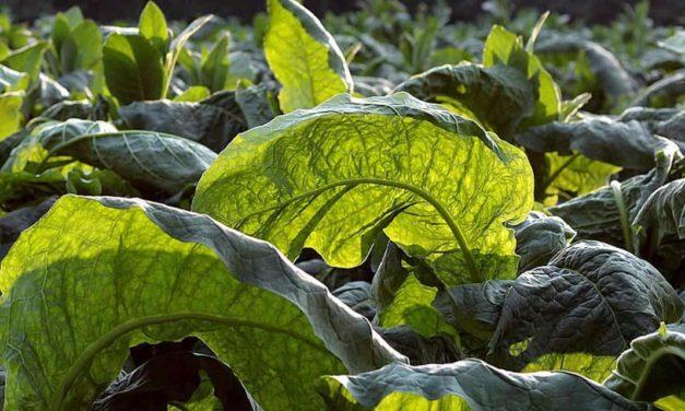 Comissão da Agricultura debate restrições ao setor produtivo do tabaco em Santa Cruz do Sul