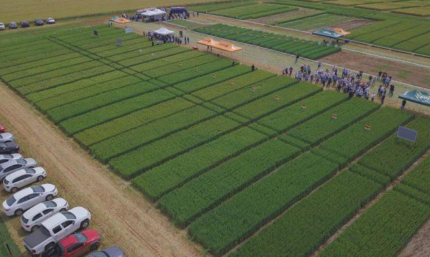 Novas cultivares fortalecem a qualidade dos trigos gaúchos e catarinenses