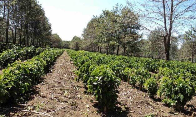 Cafeicultura: ação eficiente contra o desenvolvimento do ácaro
