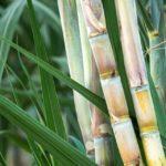 Uso de maturadores contribui para produtividade e qualidade da cana-de-açúcar
