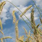 IHARA apresenta tecnologias para a proteção do cultivo de trigo no Winter Show 2018