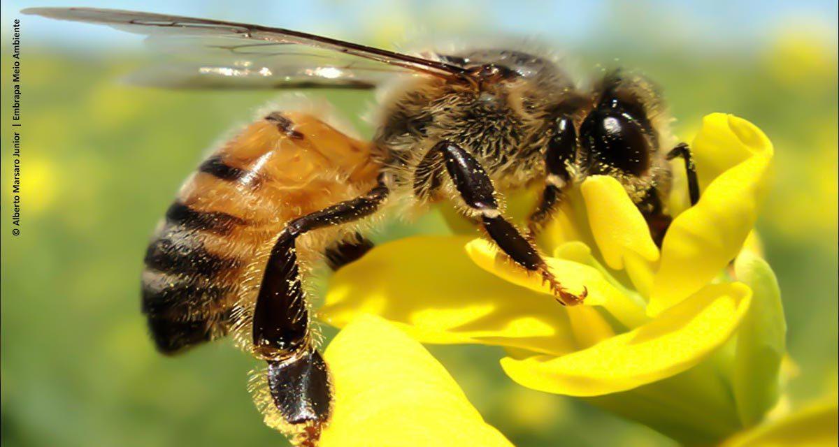 Própolis de abelhas-europeias inibe fungo que ataca milho, citros e tomate