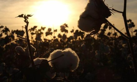 Recorde na exportação impulsiona operação de algodão da Brado