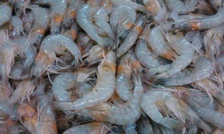 Oceana Brasil lança fertilizante para maior rendimento e qualidade dos camarões de cativeiro