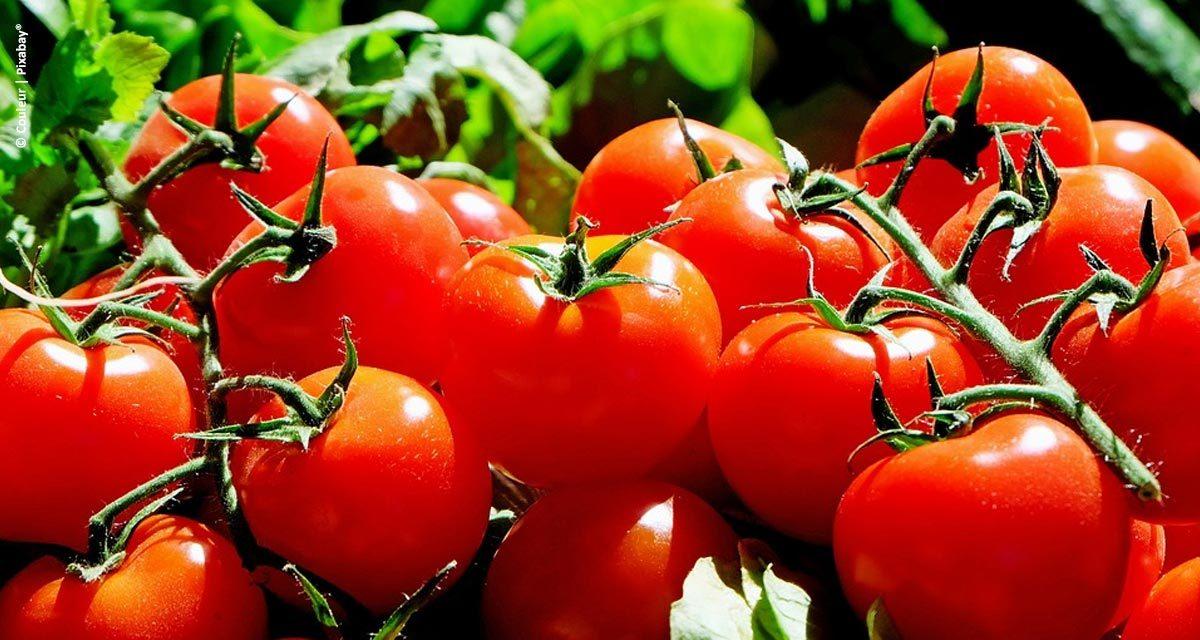 Uso do Lithothamnium no cultivo do tomate traz benefícios ao produtor e à indústria