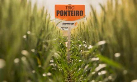 BelaSafra: novas cultivares permitem escalonar o cultivo do trigo com mais segurança