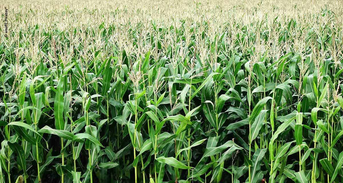 Estudos de campo e pesquisas atestam a eficácia do Algen à base da alga Lithothamnium para aumentar a rentabilidade do cultivo do milho