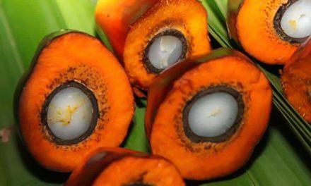 Agropalma implanta programa Agricultura 4.0 na produção de palma para óleo e passa a ser a primeira do mundo a colher, transportar e processar o fruto 24 horas por dia aliada à alta tecnologia