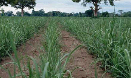 Provence Total, novo herbicida da Bayer, chega para revolucionar o mercado canavieiro