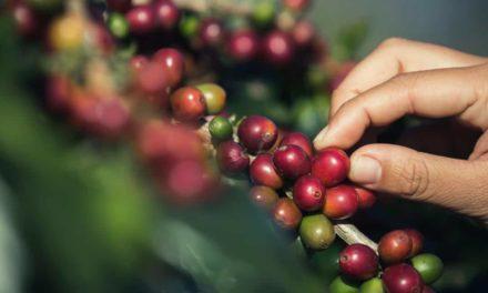 Gestão eficiente faz cafeicultura avançar