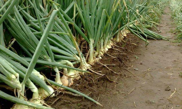 Topseed Premium lança dois cultivares de cebolas híbridas durante o SENACE