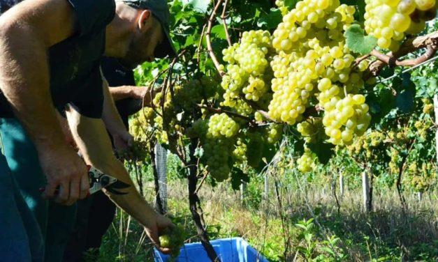 Safra 2019: Cooperativa Vinícola Garibaldi ultrapassa os 24 milhões de quilos de uvas recebidos