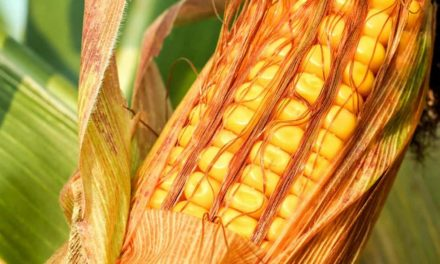Adoção de princípios básicos pode alavancar produção de milho, diz relatório da Embrapa