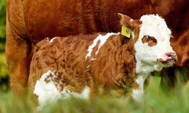 Auditores fiscais federais agropecuários promovem incremento na produtividade com registro genealógico e provas zootécnicas de animais