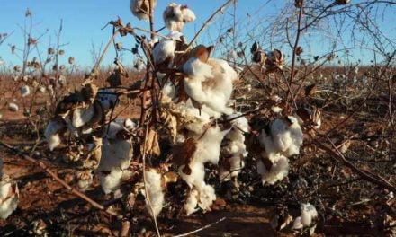 Lavouras de algodão, que sofrem com alta incidência de pragas, podem contar com nova solução