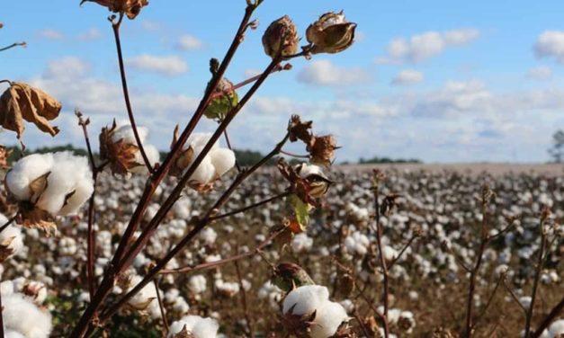 País está próximo de se tornar o segundo maior exportador de algodão do mundo, segundo a Anea