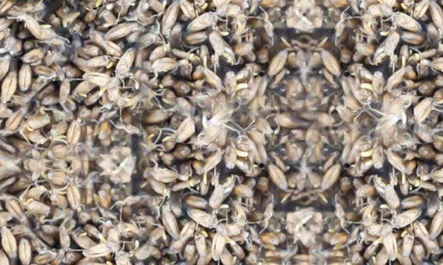 Auditores Fiscais Federais Agropecuários impedem que 44 toneladas de trigo mofado fossem usadas no Brasil