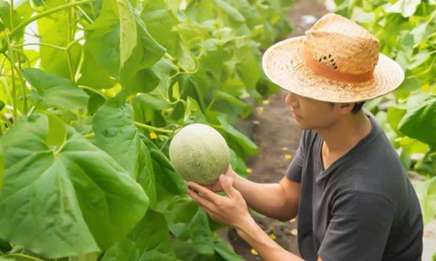 Melão brasileiro se destaca no mercado internacional