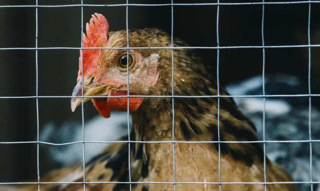 Avicultura e coccidiose: como manter a sanidade de seu plantel