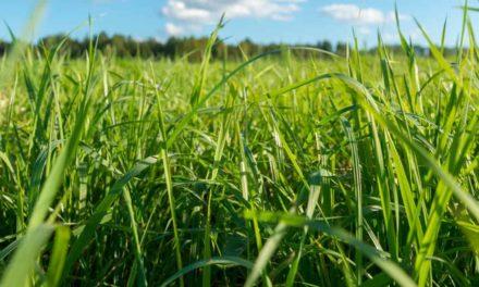 Consórcio de grãos com braquiária garante aumento de 12 sacas por hectare a produtor mato-grossense