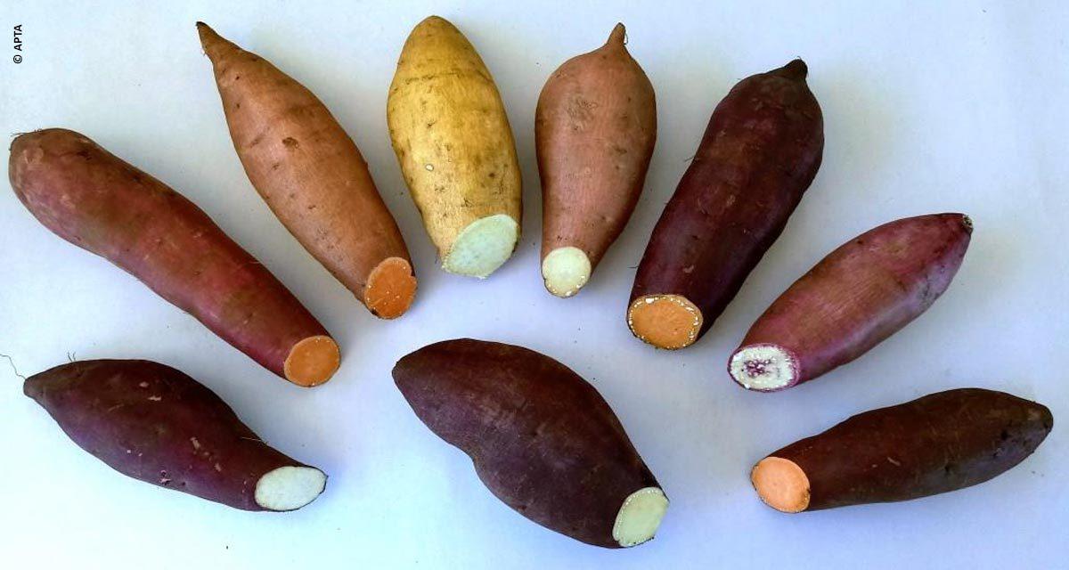 Pesquisa para desenvolver batata-doce mais produtiva é apresentada pela Secretaria de Agricultura e Abastecimento de São Paulo