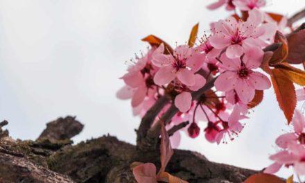 Doce ou amarga: segredo do sabor da amêndoa está em seu DNA