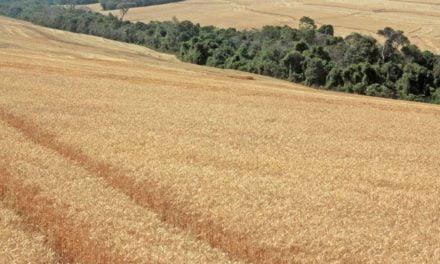 Passo Fundo sedia nesta semana discussão técnica do trigo e triticale