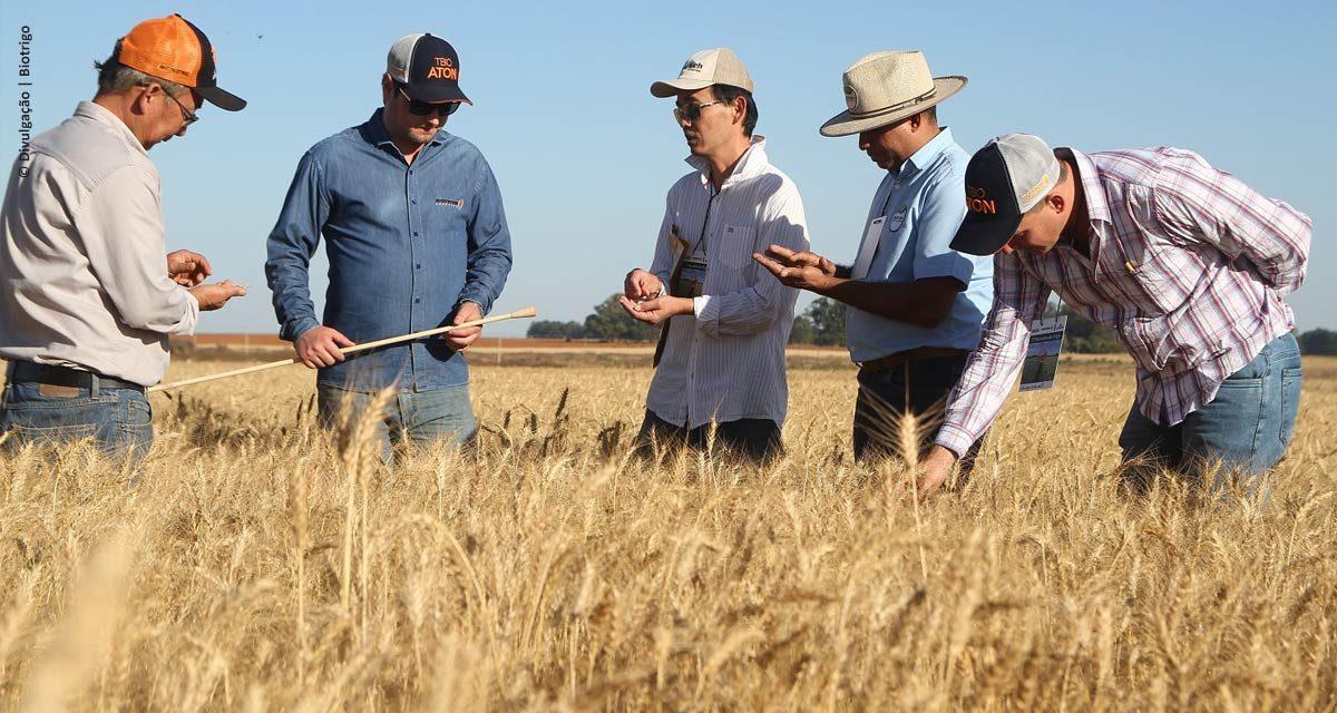 Tecnologias para aumentar a produção de trigo no Cerrado