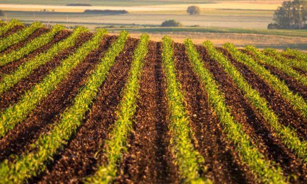 Safra de milho 2019 – O que os produtores podem esperar