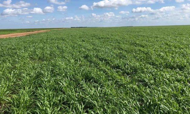 Fazenda aumenta produtividade da lavoura e amplia área de gado com uso de sementes forrageiras em sistema integrado