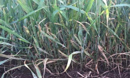 Alerta: aumentam os focos de Oídio nas lavouras do Sul