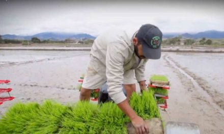 Vale do Paraíba, principal produtora de arroz do Estado, pode se tornar um pólo de variedades especiais