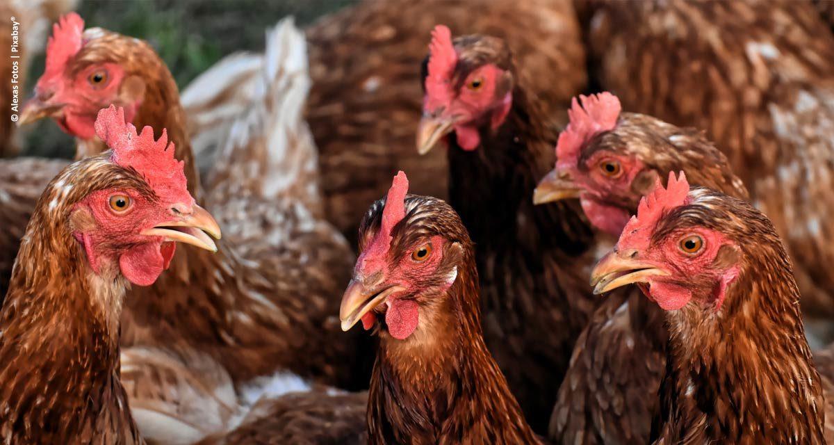 Pesquisa comprova melhor absorção de nutrientes com o uso de aditivos naturais na nutrição animal
