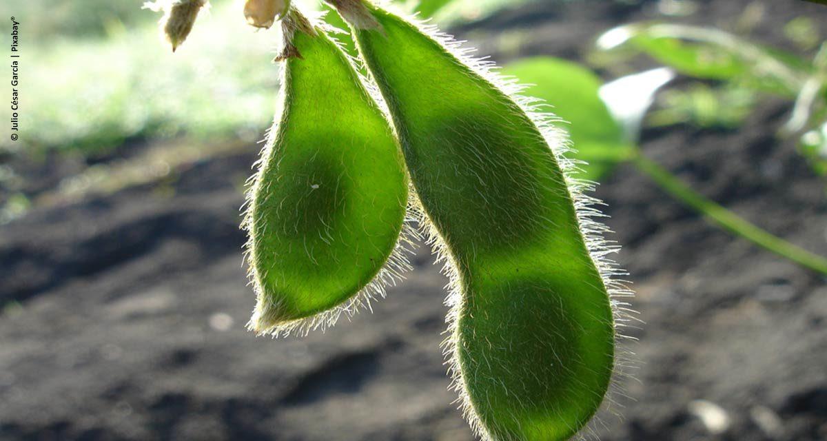 Doenças da soja: identificação, aspectos técnicos e manejo são essenciais para o sucesso nas lavouras