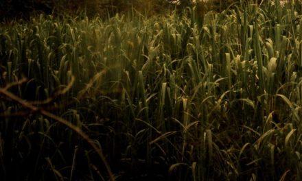 Ourofino Agrociência orienta sobre a necessidade do manejo de plantas daninhas em cana-de-açúcar