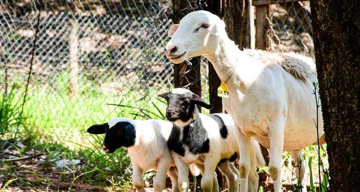 Manejo de ovinos aumenta o número de partos duplos em 70%