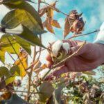 ADAMA investe e fortalece o portfólio voltado à cultura do algodão
