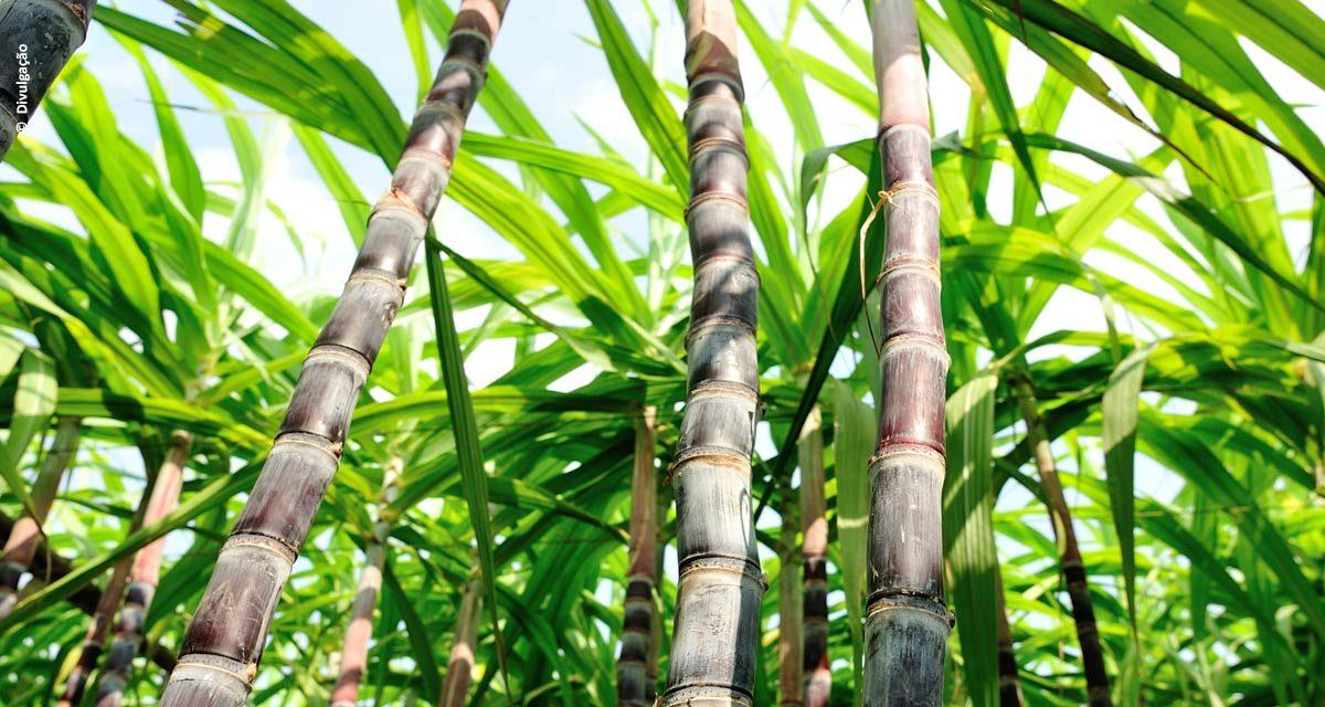 Qual o impacto da calagem do solo e da suplementação de zinco para a cana de açúcar?