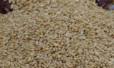 Estado de São Paulo espera colheita de 260 mil toneladas de trigo
