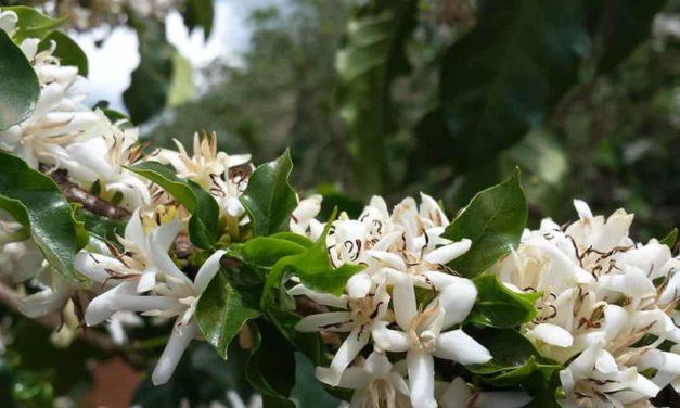 Café já é beneficiado pela nova geração de fertilizantes