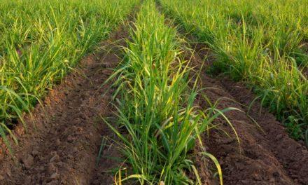 Foco no desenvolvimento radicular da cana-de-açúcar