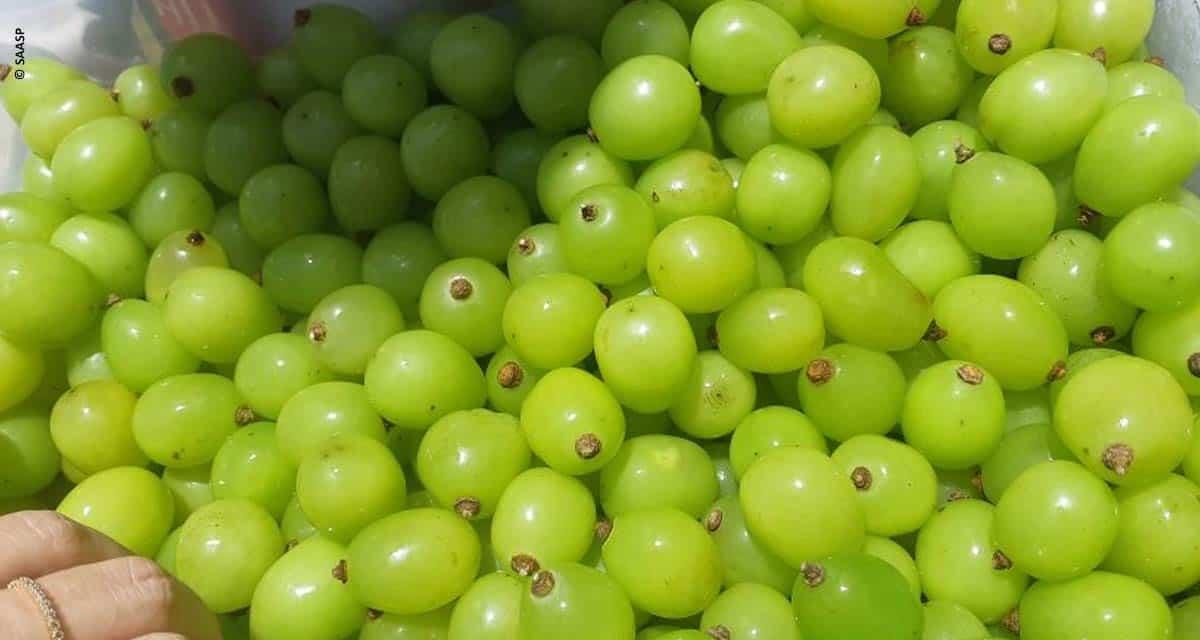 Primeira uva gourmet do Brasil é de São Paulo
