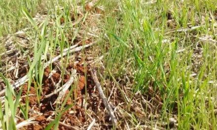 Nova tecnologia no trigo facilitará manejo de ervas daninhas