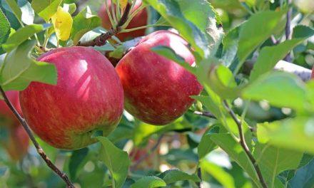 Rasip projeta comercialização de 80 mil toneladas de maçã para 2020