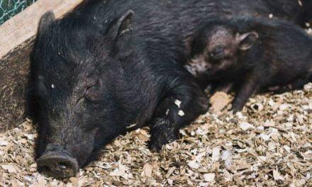 O papel da imunização das porcas no controle de doenças